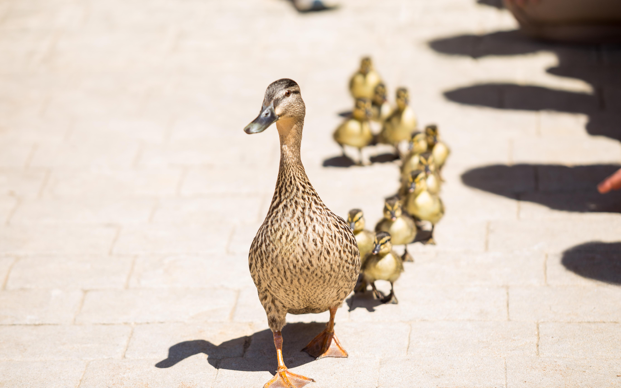 Spring's Duckling Processional